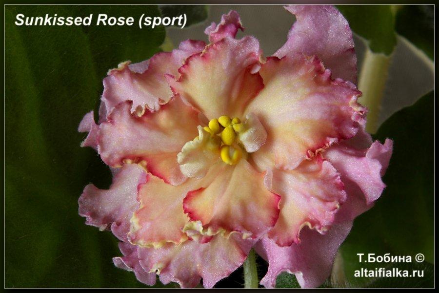 Примеры цветения сортов-новинок вы можете найти и посмотреть в интернете.