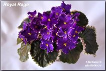 Royal Rage (2фото)
