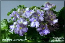 Optimara Ever Grace (5фото)