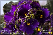 Purple Lace (7фото)