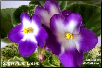 Sugar Plum Dream (3фото)